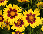 Coreopsis sunkiss