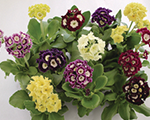 Primula pubescens mix