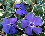 Vinca minor ralphshugert