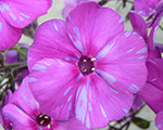 Phlox pan autumnjoy