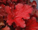 Heuchera foreverred
