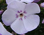 Phlox pan flamelightblue