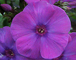 Phlox pan flamepurple