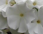 Phlox pan flamewhite