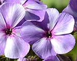 Phlox pan jeffsblue