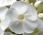 Phlox pan youniquewhite