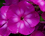 Phlox pan sparkle