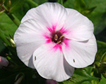 Phlox pan mike'sfavourite