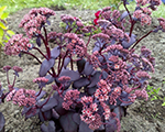 Sedum purpleemperor