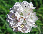 Armeria maritima whiteselect