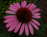 Echinacea fatalattraction
