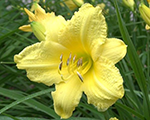 Hemerocallis happyreturns