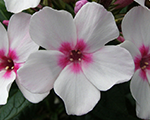 Phlox pan whiteeye