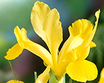 Iris hollandica yellow